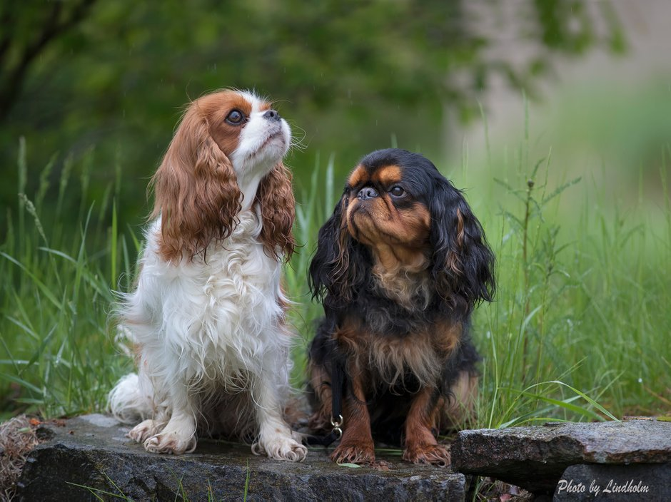 Cavalier Kings Charles and King Charles Spaniels